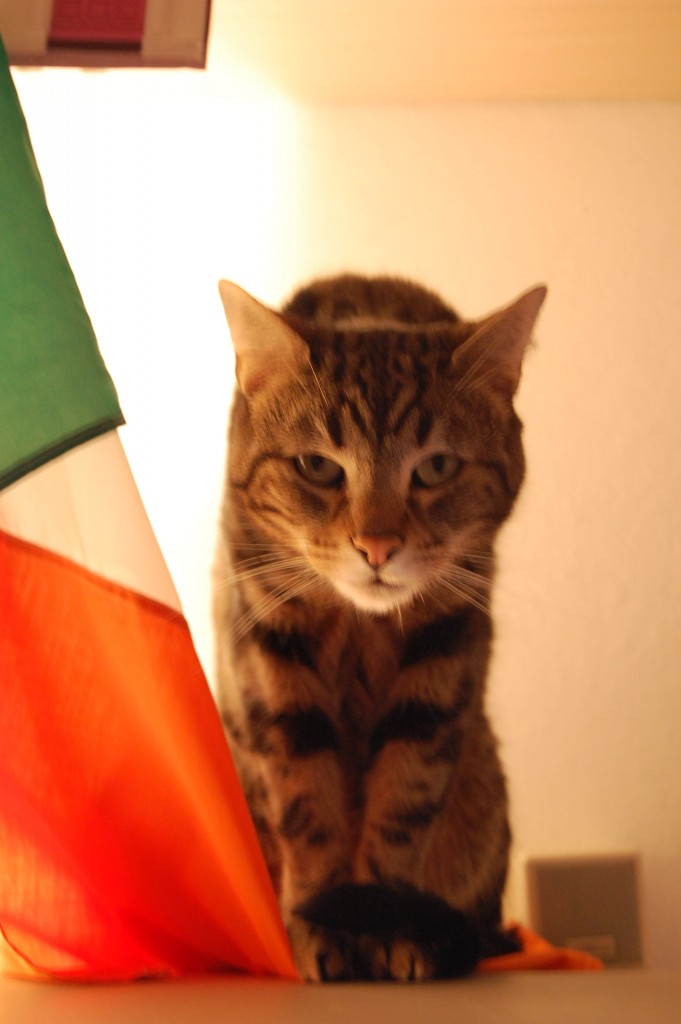 Gatti d'Irlanda