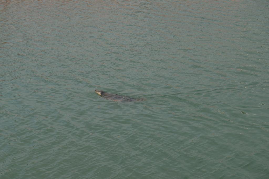 dublino dal mare 02 - foca - howth