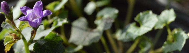 garden diary - campanula - italishmagazine