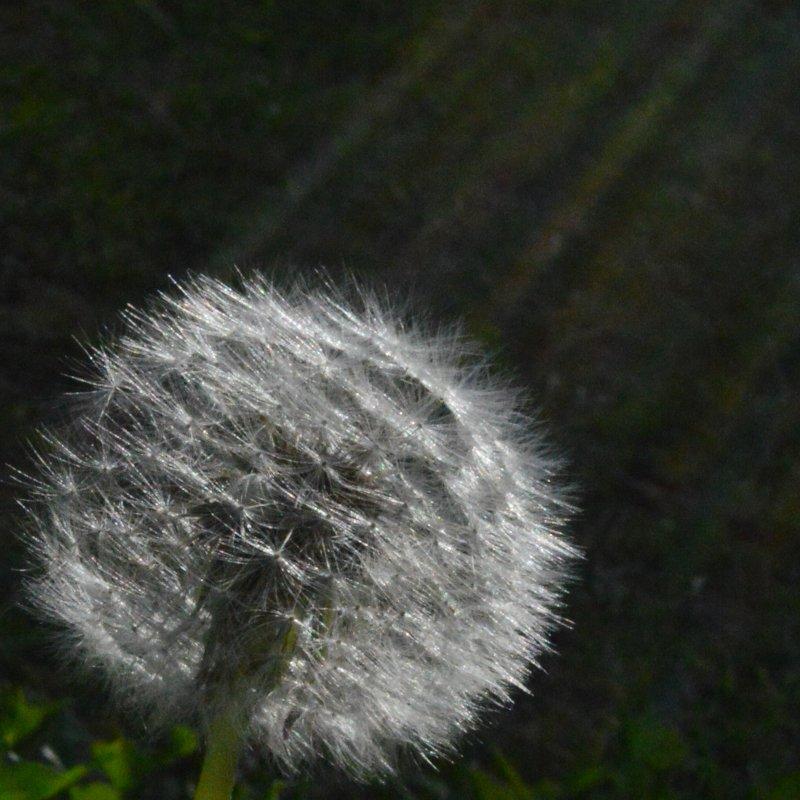 garden diary - dandelion 01 - italishmagazine.JPG